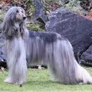 Afghan Collie (Afollie) (Designer Dog)