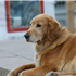 Smart, good-natured, and eager to please, the Golden Retriever excels as a family companion and working dog.