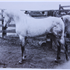 Sureyn (Raseyn x Crabbet Sura) grey stallion, foaled September 11, 1940