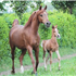 Palawan and her colt foal, Fadil BM by WH Justice.