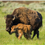 BASIC FACTS ABOUT BISON