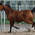 Fantasy M {Thee Masterpiece X WB First Edition [Ponomarev]} Foaled 2009.  Bred by Terry and Pauline McLaughlin.  Owned by Ken L & RaNae B Bangerter of RaeKen Arabians, Ut, USA
