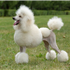 Beautiful, sophisticated, and intelligent, the Poodle stands out in the crowd.