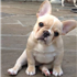 His unique appearance and mischievous nature make the Frenchie a well-loved breed.