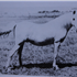 Sherzeyn (Raseyn x Sheherzade) grey mare, foaled June 13, 1939bred by W.K. Kellogg Institute