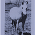 Sherzeyn (Raseyn x Sheherzade) grey mare, foaled June 13, 1939