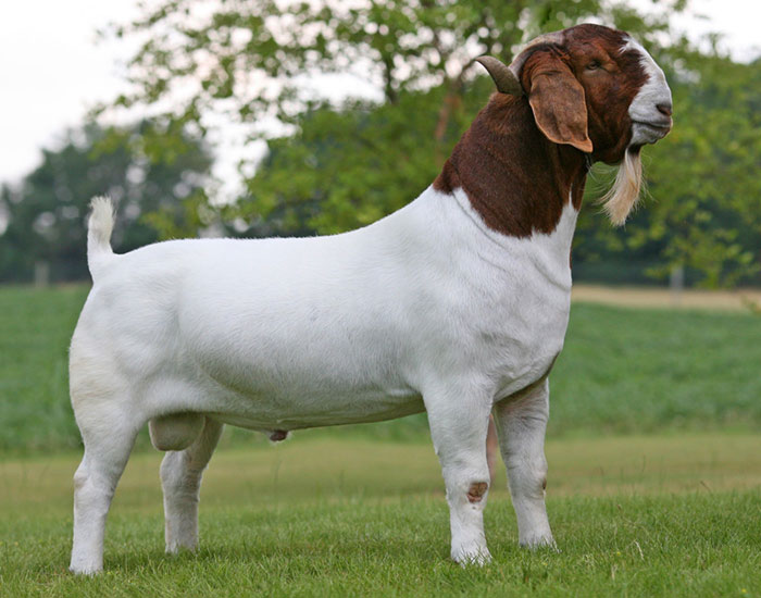 Boer Goat | Pedegru - photo#23