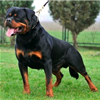 This large, powerful dog can be a steady and gentle companion.