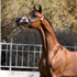 Dominic M: Unanimous Champion Scottsdale Signature Stallion Yearling Colt