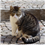 Limping and Lameness in Cats