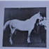 Serifh (Raseyn x Rifdah) grey stallion, foaled March 12, 1940bred by W.K. Kellogg Institute