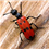 Beware the Blister Beetle (Epicauta vittata)